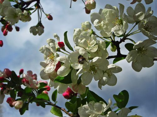 blossom,white blossom,pink button,bloom,spring,blossom buds,flourish,branch,nature