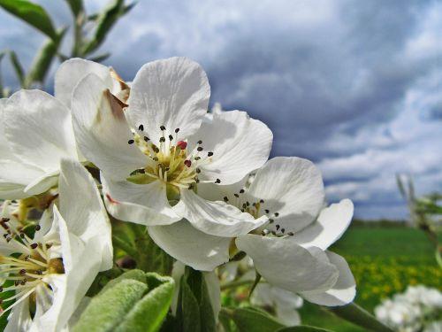 blossom white blossom bloom