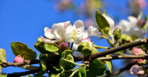 blossom bloom apple blossom