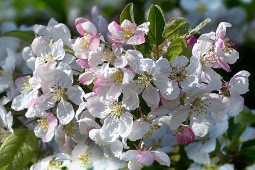 blossom bloom pink white