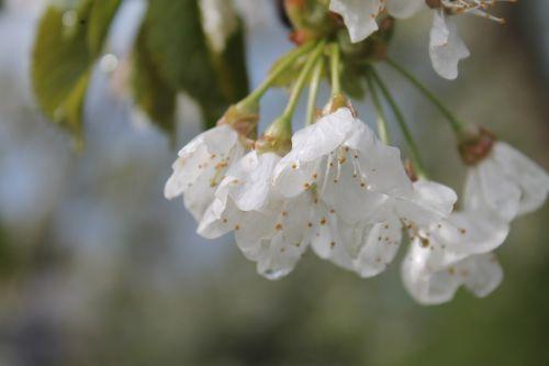 blossom bloom white