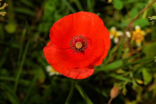 blossom bloom poppy flower