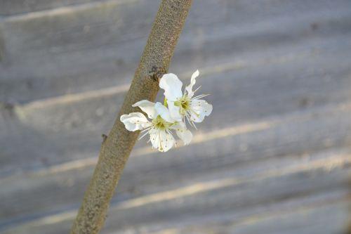 blossom plum blossom flower