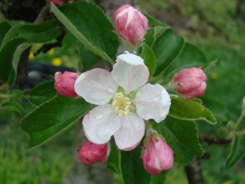 blossom bloom pear