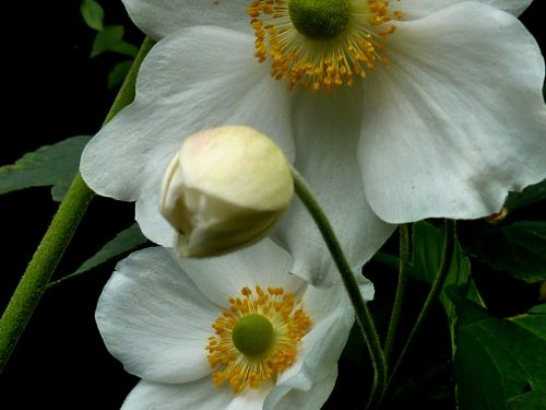 blossom bloom flower white