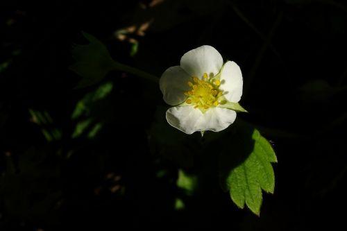 blossom bloom strawberry