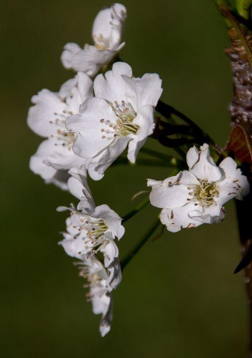 blossom flowers nashi pear