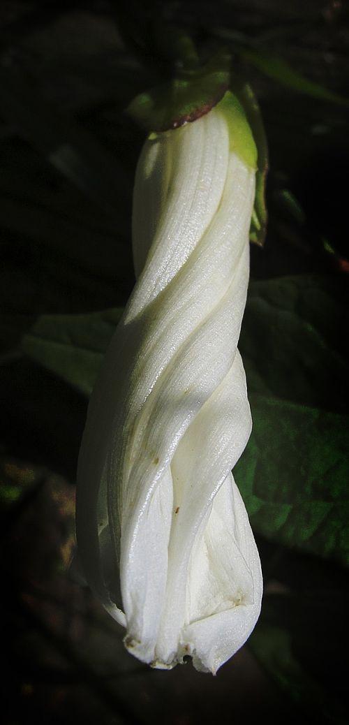blossom bloom vetch