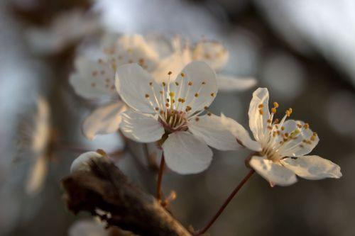 žiedas,balta,pavasaris,žiedas,žydėti,baltas žiedas,mirabelle slyvų medis