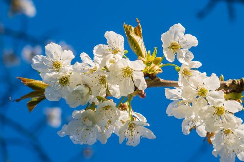 žiedas,žydėti,gamta,augalas,vyšnių žiedas,pavasaris,gėlės