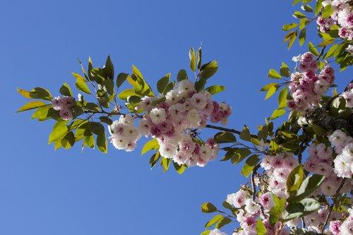 blossom  bloom  tree