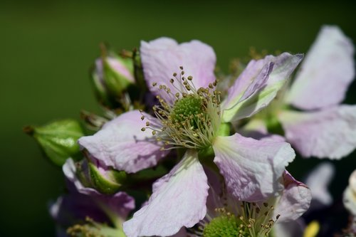 blossom  bloom  blackberry