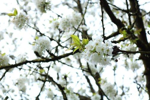 blossom  white  white flowers