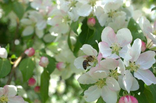 žiedas, gėlė, bičių, vabzdys, žiedas, žydi, pobūdį, pavasaris, baltas žiedas, augalų, Iš arti, maža gėlė, baltos gėlės, mažos gėlės