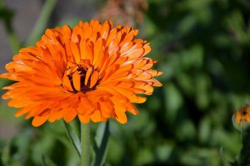 blossom  bloom  marigold
