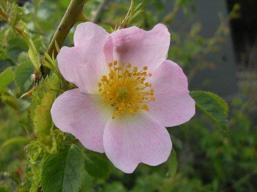 blossom  bloom  wild rose