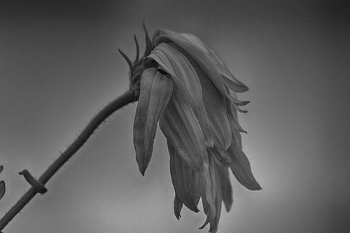 blossom  bloom  black white