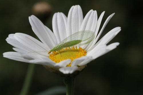 blossom  bloom  lacewing