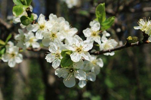 blossom  plum blossom  branch