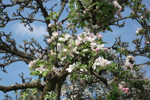 blossom apple tree bloom