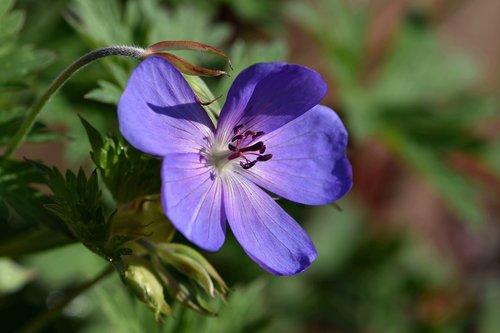 blossom  bloom  violet blue