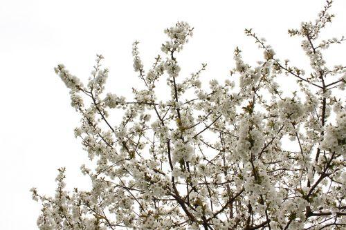 žiedas,vyšnia,žiedas,žydėti,pavasaris,žydėti,medis,vyšnių žiedas,augalas