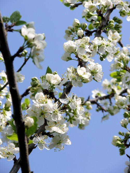 blossom white spring