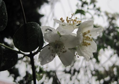 Blossom With Raindrops