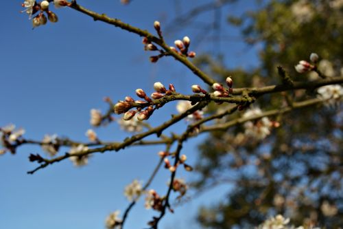 blossoms flower buds tree