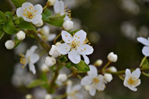 blossoms plum blossoms white blossoms