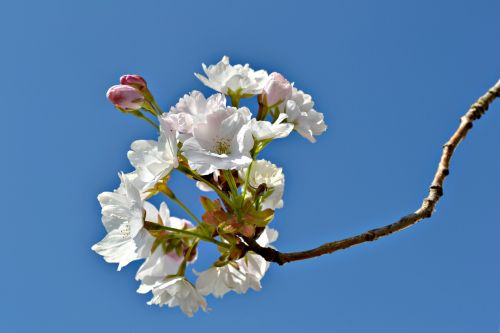 blossoms flowers japanese cherry