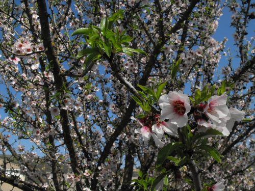 žiedai,gėlės,medis,pavasaris,gamta,žydi,lauke