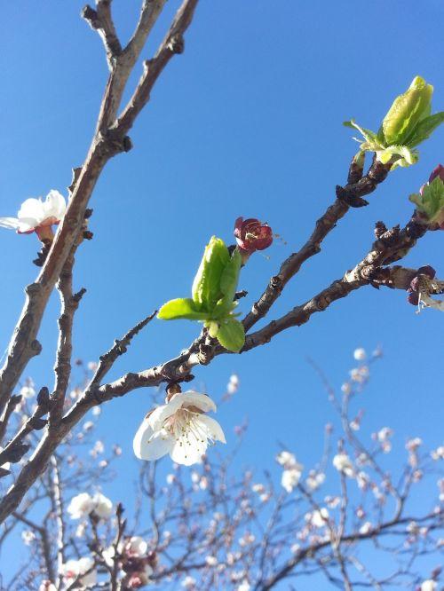 blossoms blossom blossoming