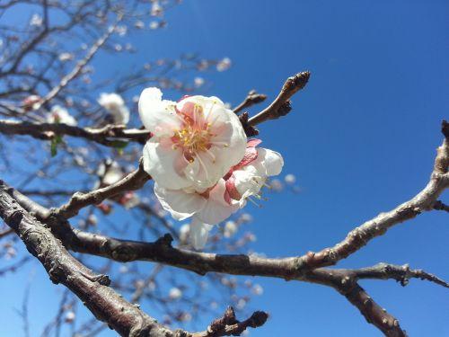 blossoms blossom tree