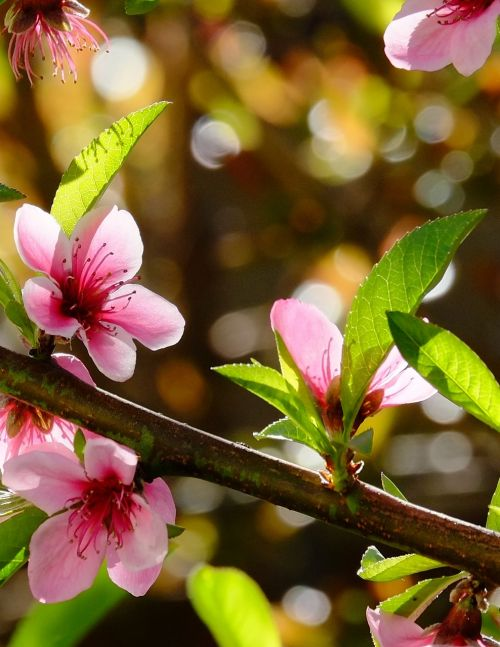 blossoms nectarine tree spring flowers