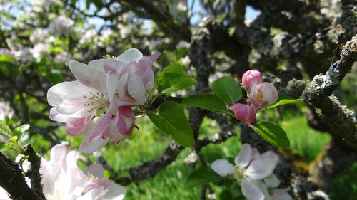 blossoms  apple  apple blossoms