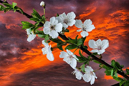 blossoms spring art