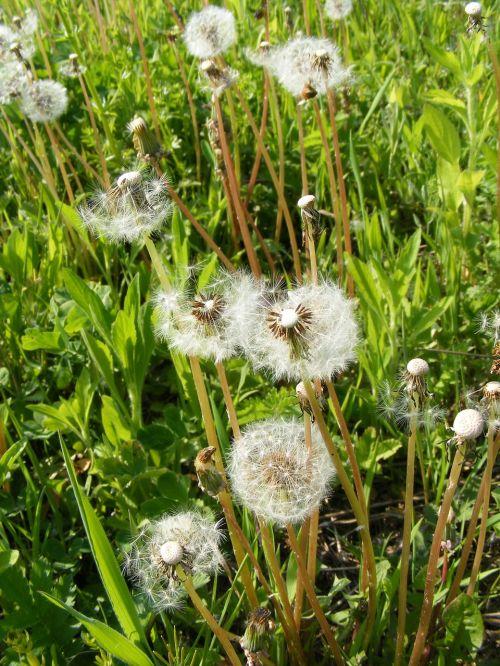 blow dandelion flowers