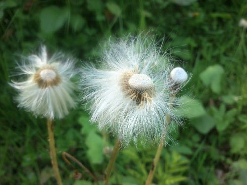 blowball flower dandelion