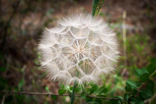 blowball dandelion spring