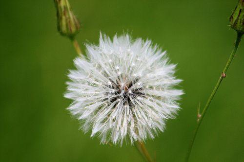 blowball dandelion flower