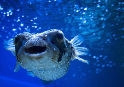blowfish sea ocean