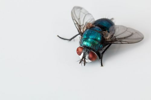 blowfly blue bottle fly insect
