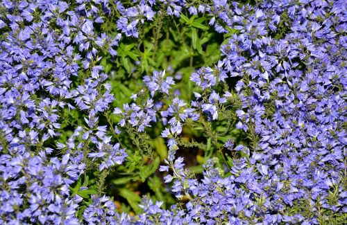 blue pillow aubrieta