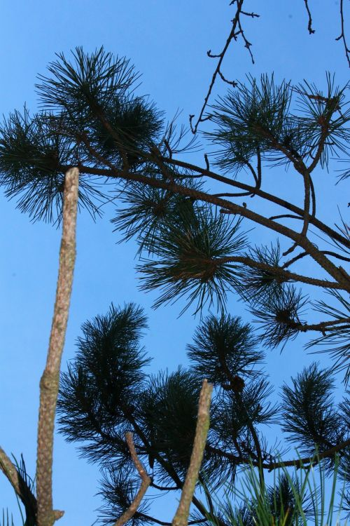 blue sky fir