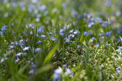 blue sherwood gardens flowers