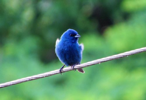 blue bird avian