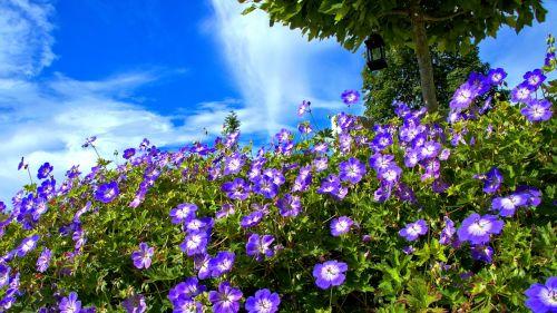 blue flowers cranesbill