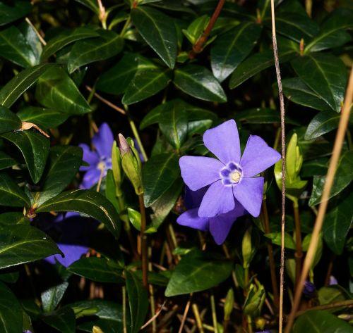 blue periwinkle vinca minor