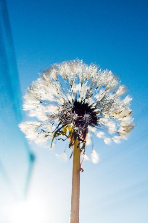 blue bright dandelion